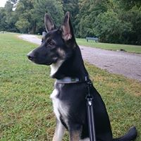 Lulu, Schäferhundmischlingshündin, ca. 1,5 Jahre