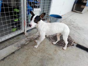 Domino, Bodeguero Andaluz, 18 Monate, 10 kg