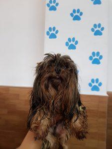 Spook,  Yorkshire Terrier, * 2016, direkt vom Züchter ( Infos folgen)
