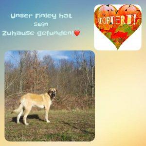 Finley, Schäferhund Mix, *09.2017