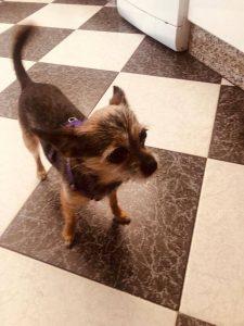 Lola, Chihuahua Mix, *08. 2015
