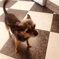 Lola, Chihuahua Mix Hündin, *08.2015 Adoptiert❣️