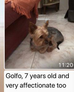 Golfo, Yorkshire Terrier, 7 Jahre