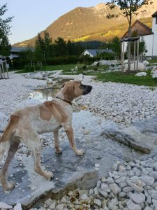 Clyde, Epagneul francais *15.04.2020 Adoptiert in Österreich