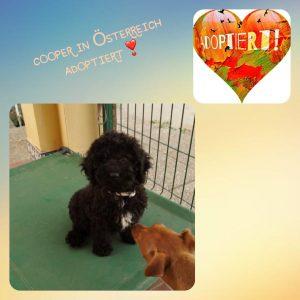 Cooper, Wasserhund reinrassig, 3 Monate