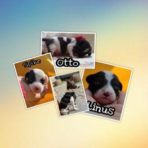 Spike , Otto und Linus, *03.2021 Bodeguero Mischlinge