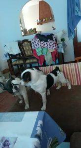 Luffy, French Bulldog/Bodeguero Andaluz, *02.2021